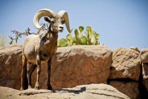 Painted Desert Sheep