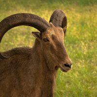 Aoudad Sheep